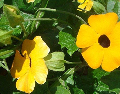 Hemore Perennial Climbing Plant Yellow Thunbergia Alata (Black-Eyed Susan Vine) 200 Seeds