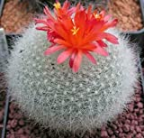 Scarlet Ball Cactus Seed parodia haselbergii Showy Long-Flowering Fast Grow