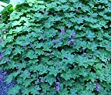 Geranium macrorrhizum 100 seeds