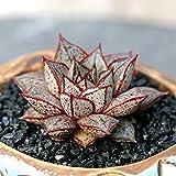 JLAS Live Succulent Lithops Pseudotruncatella Cactus Plant Echeveria purpusorum White Form | 567143914614_59