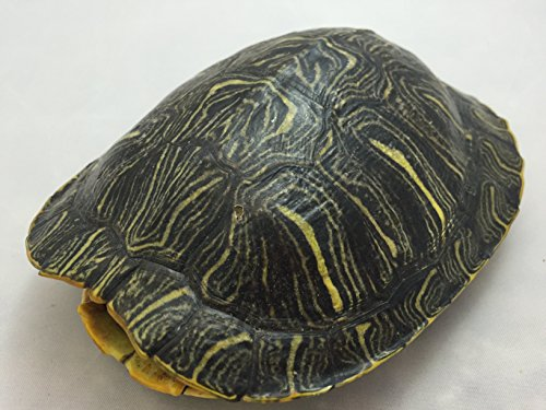 Red Ear Turtle Shell ()