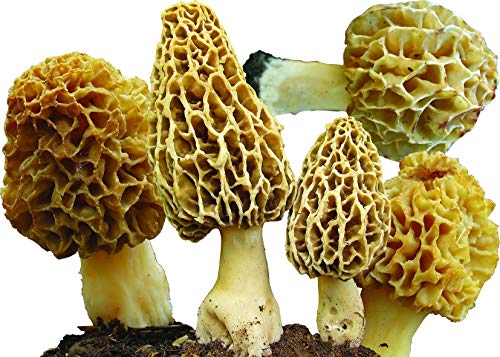 25 G Dry any Seeds infected of Spores Morels Morchella Esculenta Garden Mushrooms Kit Fungus (Best Of Infected Mushroom)