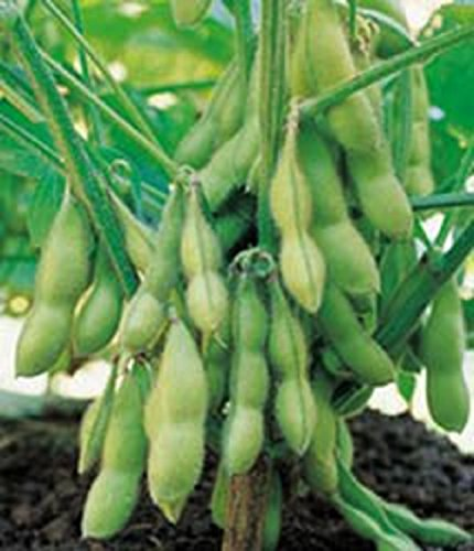 Package of 100 Bean Seeds Bean Soy Envy Open Pollinated Seeds Home Garden Plant