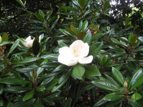 - 2 Magnolia Trees - Large White Flowers Live Plants Virginia Sweet Bay Eevergreen
