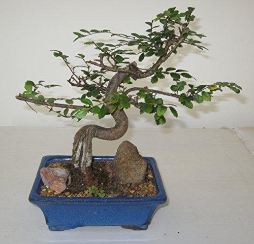 [Bonsai Gardens] Highest Quality, Medium Small Leaf Elm Bonsai Tree by Bonsai Gardens Of CT