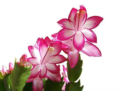 Pink Christmas Cactus Plant - Zygocactus - 6