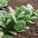Gazelle Spinach Seeds (Spinacia oleracea) 100+ Rare Seeds + FREE Bonus 6 Variety Seed Pack - a $29.95 Value! Packed in FROZEN SEED CAPSULES for Growing Seeds Now or Saving Seeds For Years