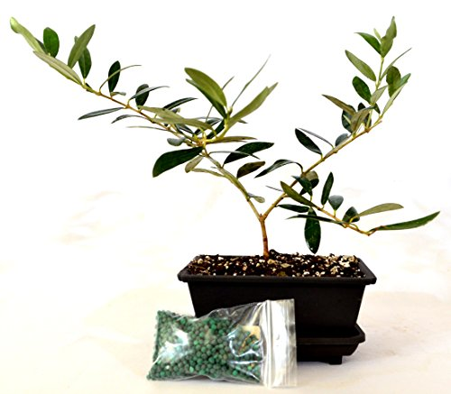 9GreenBox - Olive Tree Bonsai with Water Tray and Fertilizer by 9GreenBox.com
