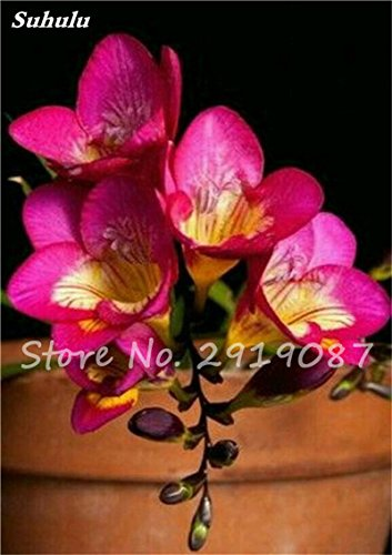 20 Pcs Freesias Seeds Colorful Fragrant Flower Plant Gorgeous Seeds Charming Flower Plant Seeds Plant For Garden 5