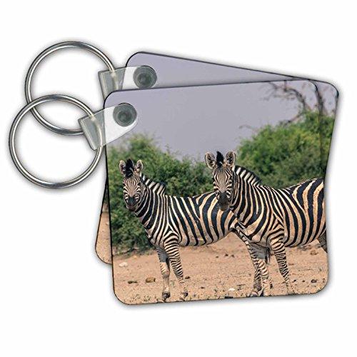 Danita Delimont - Zebras - Botswana. Burchells zebra alert to any predators. - Key Chains - set of 2 Key Chains - Predator Images 2