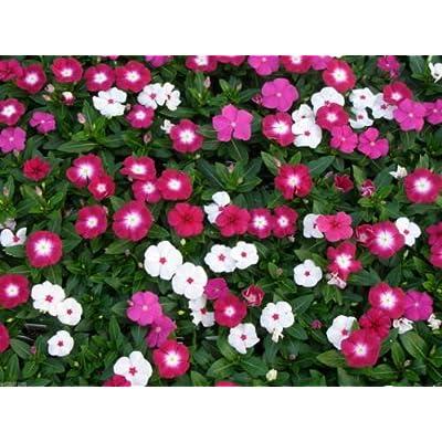 1000 DWARF LITTLE MIX Periwinkle (Vinca Rosea Dwarf Little Mix) Flowers Seeds : Garden & Outdoor