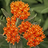 100 Butterfly Milkweed / Monarch Flower Seeds ( Asclepias Tuberosa)