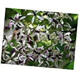 Seeds Melia Azedarach Tree 10 Seeds Persian Lilac Fragrant Garden from USA!