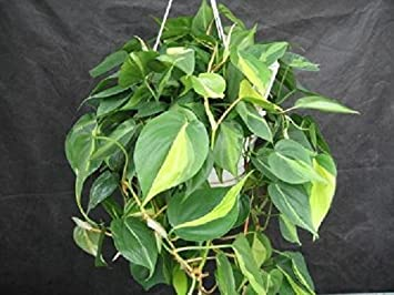 Review Plant Philodendron Brazil 6""