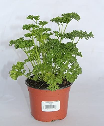 Perejil rizado o chino (maceta 10, 5 cm) - Planta viva - Planta ...