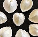 12 Beautiful White True Heart Cockle Shells (1 1/2-1 3/4'') Beach Wedding Crafts