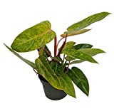 Painted Lady Philodendron 6'' Pot - Easy to Grow House Plant