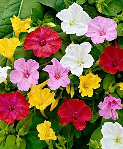Aimado Seeds Garden-50 Pcs Fleurs odorantes Mirabilis Jalapa ...
