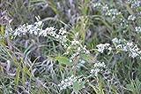 1/8 oz Seeds Aster lateriflorus CALICO ASTER