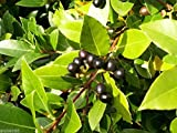 Сamphor tree Seeds CINNAMOMUM CAMPHORA Laurel Ukraine 2 seeds S0776