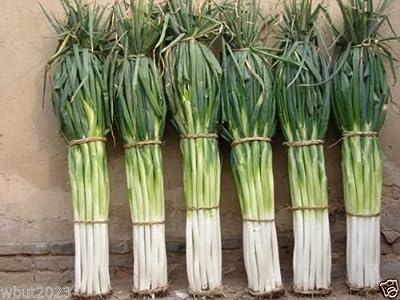 "Japanese Bunching Onion ""Ishikura Improve""(1000 Seeds) stems up to 20"" long seeds"