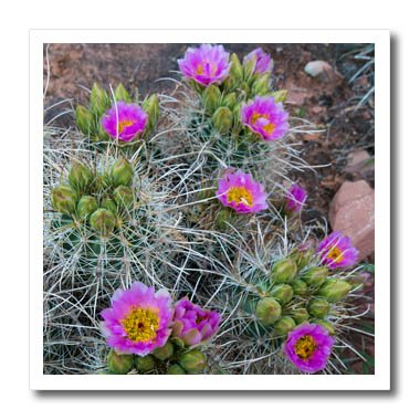 3dRose Danita Delimont - Cactus - Usa, Utah, Arches NP. Whipples Fishhook Cactus blooming and with buds. - 10x10 Iron on Heat Transfer for White Material - Fish Hook Pics