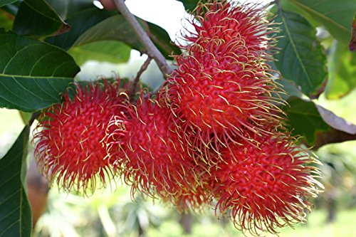 Fresh Rambutan Fruit (5lb) by Ecoripe Tropicals (Image #4)