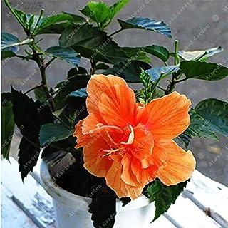 Fash Lady ZLKING 100 PCS Unique Beautiful Easy-growing Hibiscus Bonsai Indoor Perenne cinese Fiori ornamentali ben coltivati Generic