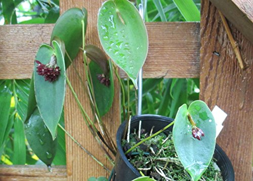 Pleurothallis nipterophylla from the Orchid family .