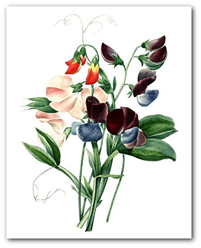 Floral Print, Botanical Sweet Pea Art, 8 x 10 Inches, Unframed