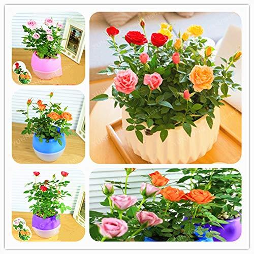 Mini Rose Bonsai Miniature Rose Bonsai A Little Cute Plants for Miniature Plant Potted Gift Flower Plant 100 Pcs/Bag ()