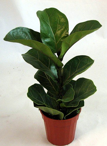 Amazon.com: Hirt\'s Fiddleleaf Fig Tree - Ficus - Great Indoor Tree ...