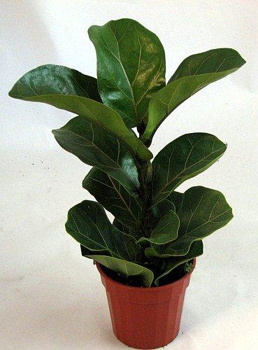 Amazon.com: Hirt\'s Fiddleleaf Fig Tree - Ficus - Great Indoor Tree ...