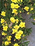 Live Plant Primrose Jasmine + Free Plant Cutting! Jasminum Mesnyi Chinese Jasmine Yellow Jasmine Vine - Starter Plant