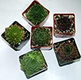 "Succulents Sempervivum Pack of 6 Pack - Fuzzy Wuzzy, Jovibarba high Tetra,Koko Flannel, Pacific Shadows, Bronco, DEA, You Will Receive 6 Plants in Each Pack, Grown in 3"" pots, pack AA"