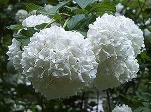 Amazon Com Japanese Snowball Bush Healthy Bare Root