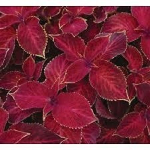 50+ Coleus Wizard Scarlet Flower Seeds / - Flower The Scarlet