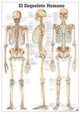 the-human-skeleton-laminated-anatomy-chart-el-esqueleto-humano-in-spanish
