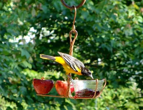 Songbird Essentials Fruit Jelly Feeder