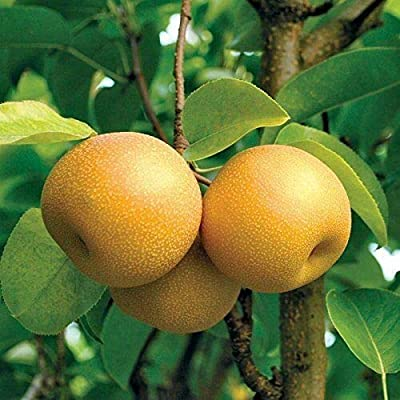 1 HOSUI Giant Asian PEAR TREE3 FT Fruit Trees Plants Sale Today ONLY : Garden & Outdoor