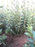 10 x 1.5m + (5ft) tall Evergreen Green Privet Hedging Plants for an instant hedge - easy to grow, ligustrum ovalifolium bare root plants