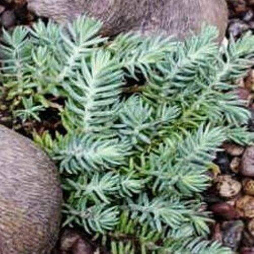 - Sedum Blue Spruce Compact Easy Drought Tolerant 2