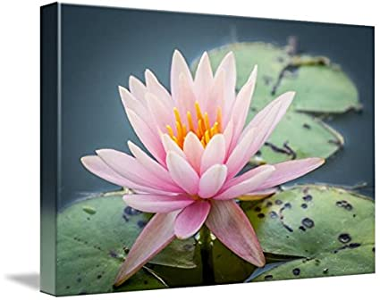 b8c808adf1daa0 Image Unavailable. Image not available for. Color: Imagekind Wall Art Print  Entitled Pink Water Lily ...