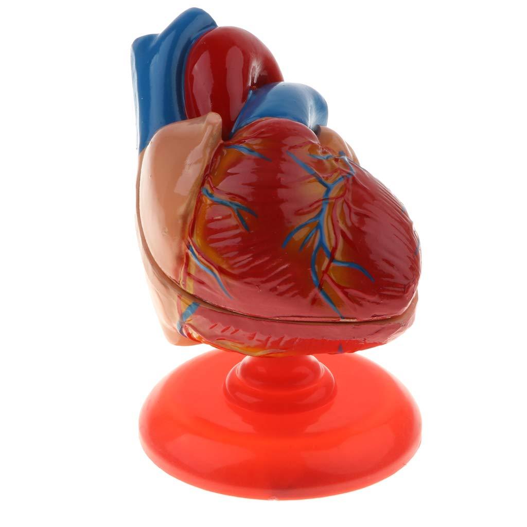 1 Modelo Anatómico de Estructura de Corazón Diastólico Humano con Base Suministros de Laboratorio Coleccionable KESOTO 1
