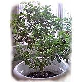 Seeds Holy Basil - Tulsi - Sacred (Ocimum sanctum) Organically Grown Herb
