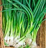 Organic Kincho Scallion Onions 50+ seed tall and green stems that do not bulb!