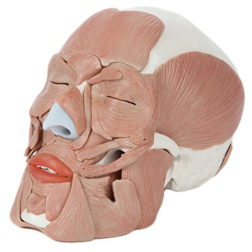 Axis Scientific 3-Part Human Skull Model with 40 Removable Muscles | Life Size Plastic Skull with facial Muscles is Molded from a Real Human Skull | 3 Year - Parts Plastic Molded