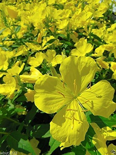 Amazon 5000 Primrose Seeds Showy Evening Yellow Winter