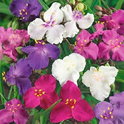 pakuda 30+ Tradescantia Spiderwort Flower Seeds Mix/Perennial : Garden & Outdoor