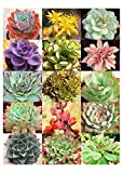 Pack of 50 Cactus Succulents Seeds, Echeveria Species Mix, Small (Comes with Free How to Live Stress Free Ebook)
